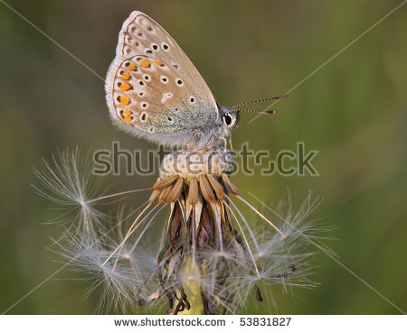 Common Blue Butterfly.