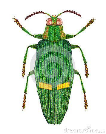 Polyphaga Stock Illustrations, Vectors, & Clipart.