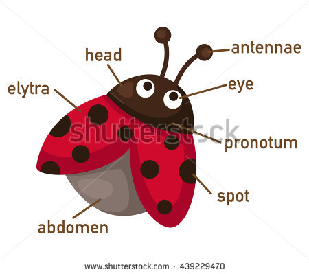 Illustration Showing Life Cycle Ladybug Stock Vector 143031883.