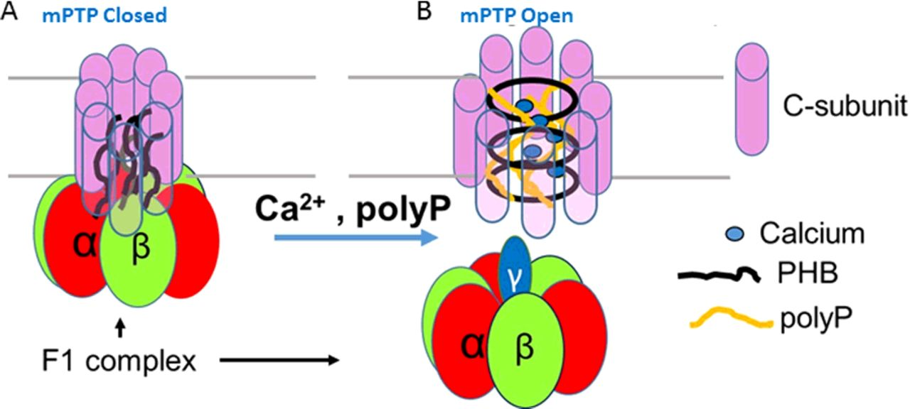 Inorganic polyphosphate (polyP) as an activator and structural.