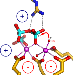 polyphosphates.