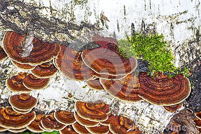 Lenzites Birch (lat. Lenzites Betulinus) Stock Photo.