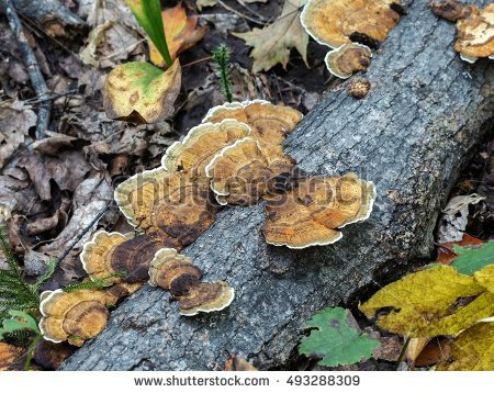 """turkey Tail Mushrooms"""" Stock Photos, Royalty."""