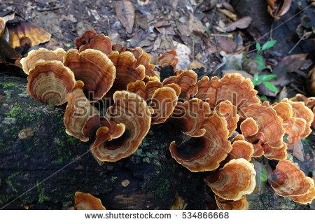 Turkey Tail Mushrooms Stock Photos, Royalty.