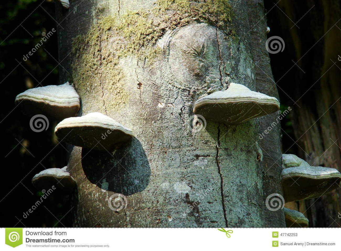 Tinder Fungus Or Tinder Polypore Stock Photo.