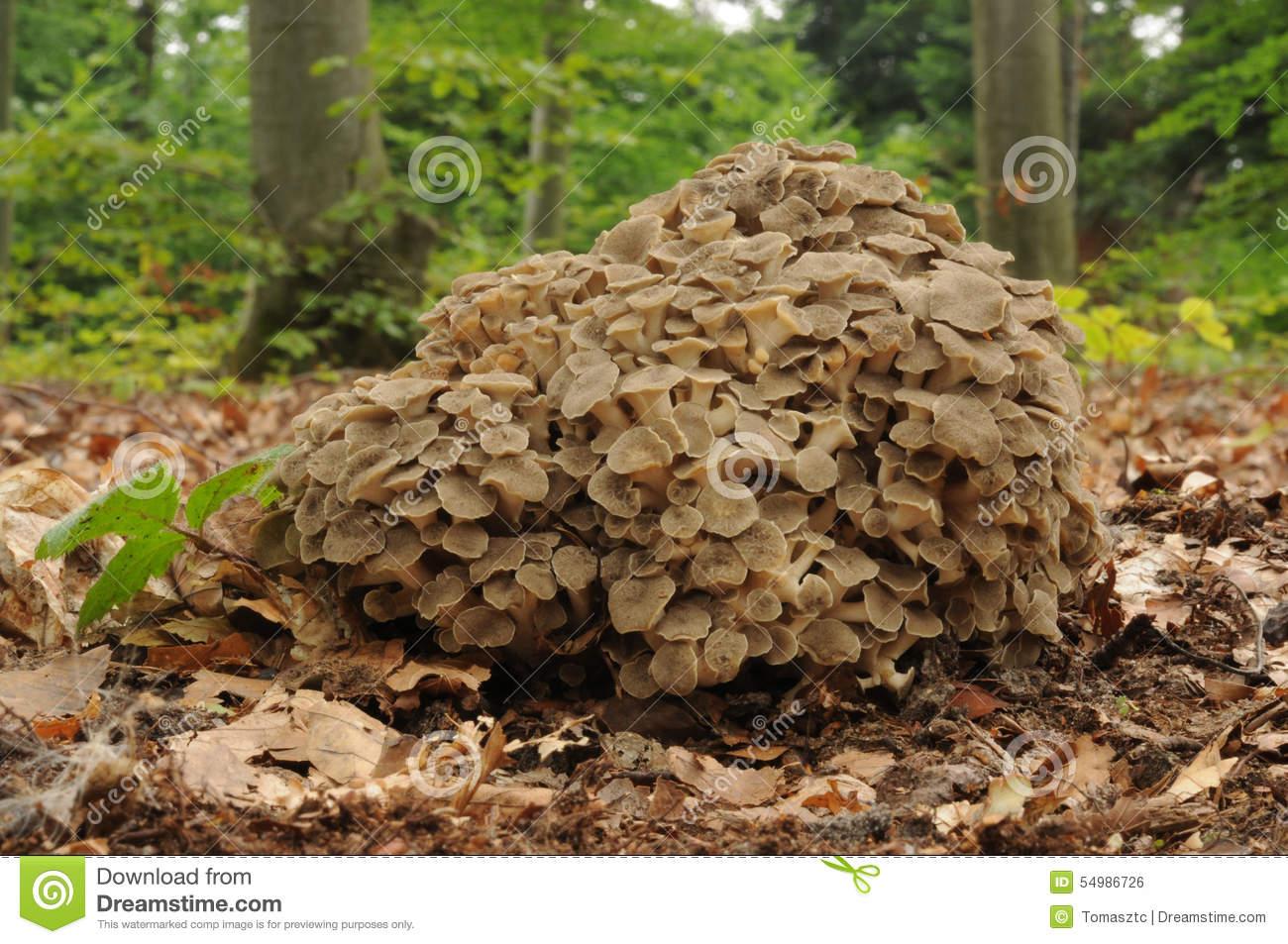 Polyporus Umbellatus Fungus Stock Photo.