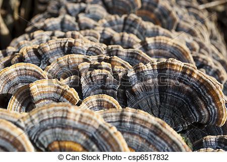 Stock Photo of Fungus growing on a tree. Polyporus tree mushroom.