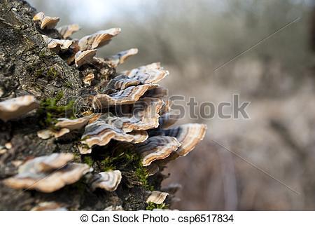 Stock Photo of Polyporus mushroom tree on side of tree.