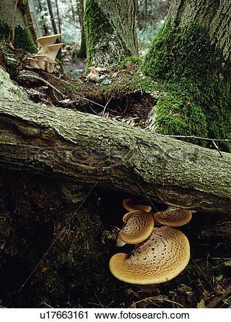 Stock Photography of England, Wiltshire. Fungi, dryads saddle.