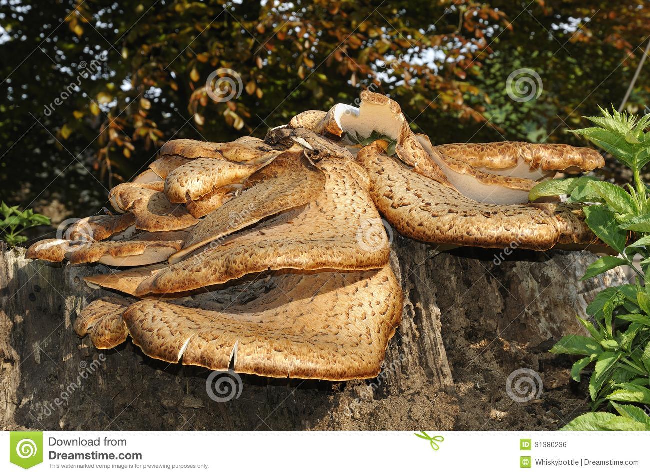 Dryad's Saddle Pheasant Back Mushroom Polyporus Squamosus Fungi.