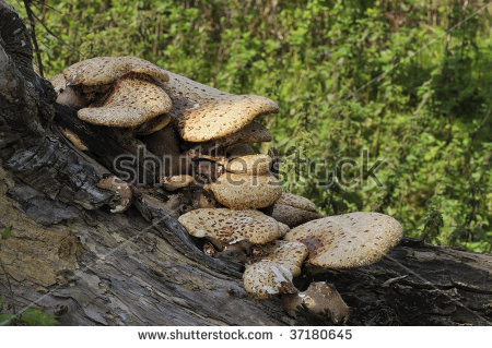 Dryad'S Saddle Bracket Fungi.