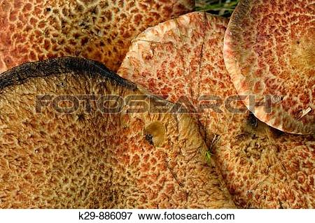 Picture of Cluster of Dryad's Saddle mushrooms Polyporus squamosus.