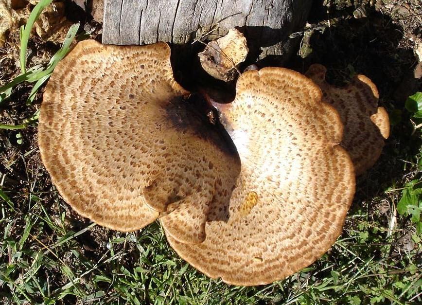 Polyporus squamosus species information.