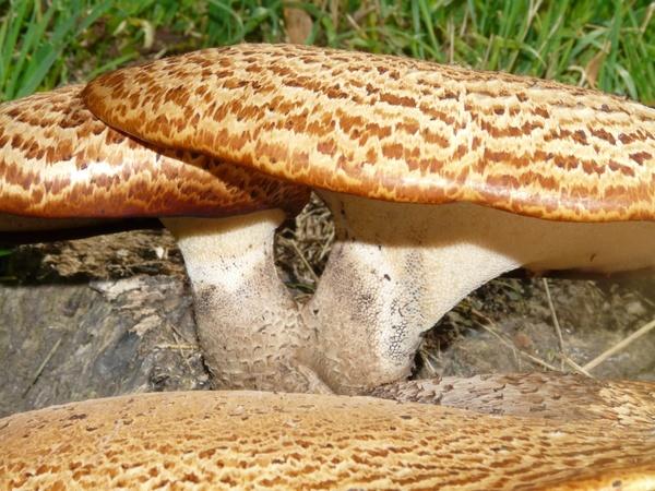 Mushroom tree fungus polyporus squamosus stalk Free stock photos.