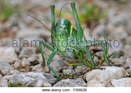 Crickets Stock Photos & Crickets Stock Images.
