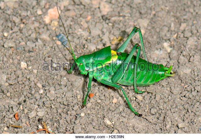 Katydid Stock Photos & Katydid Stock Images.