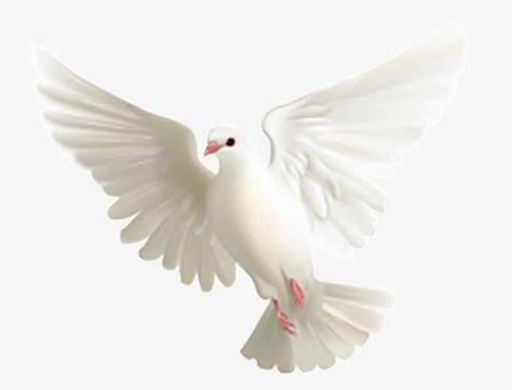 Peace Dove, White Dove Wings, White, Dove PNG Transparent.