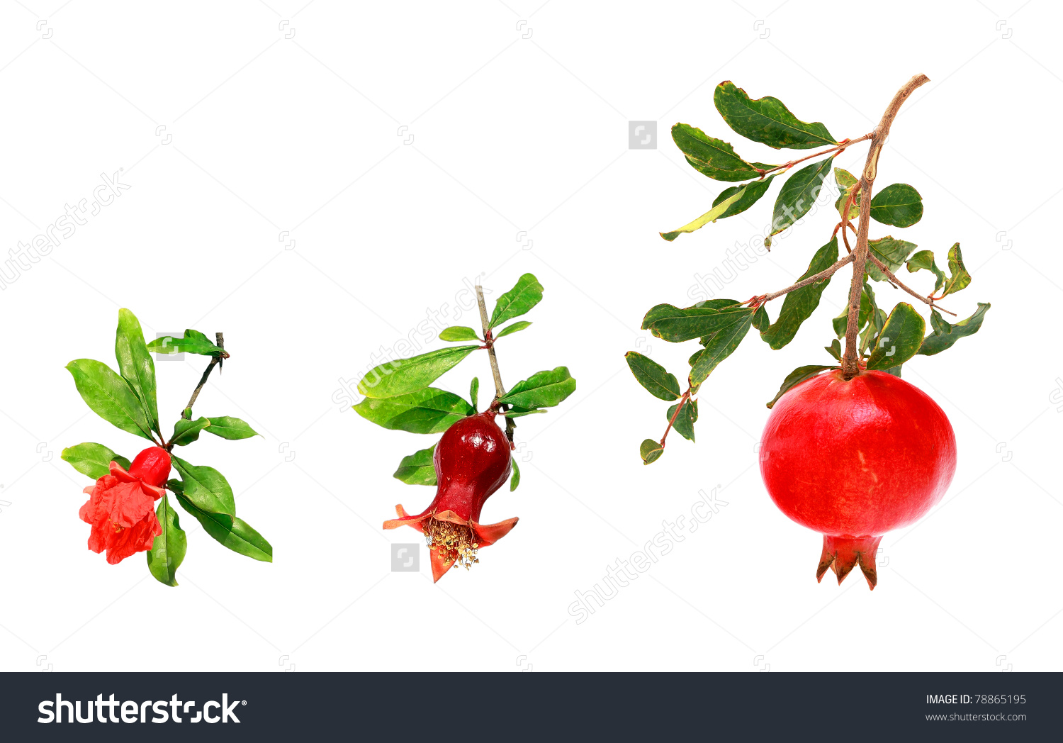 Three Stages Development Pomegranate From Flower Stock Photo.