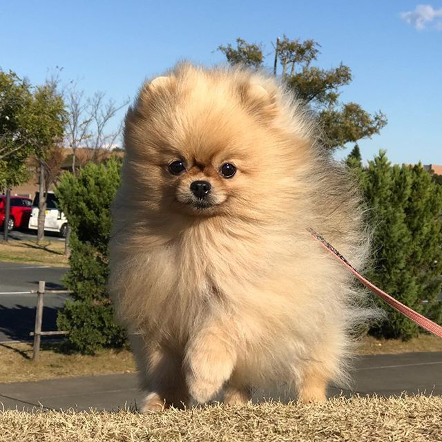 1000+ images about Pomeranian on Pinterest.