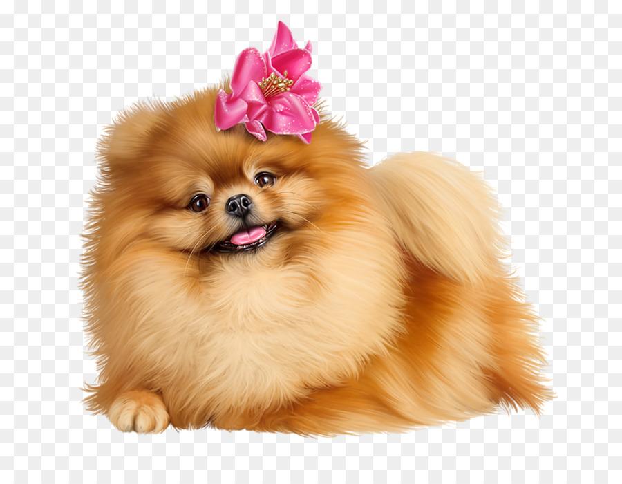 Pomeranian Background png download.
