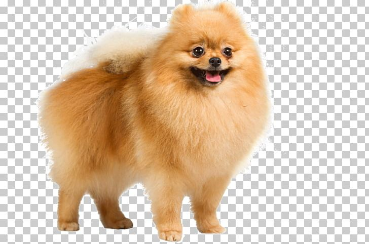 Pomeranian German Spitz Mittel Puppy German Shepherd PNG.