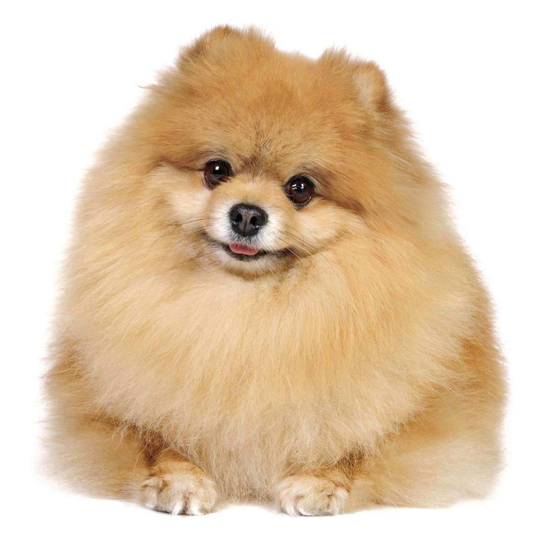 Pomeranian PNG Images.