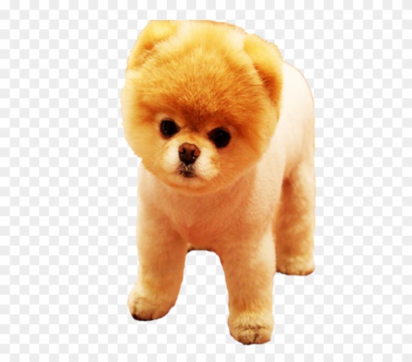 Pomeranian Png, Transparent Png.