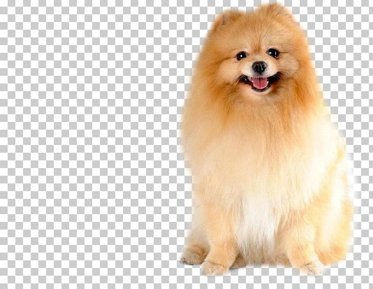 Pomeranian PNG, Clipart, Animal, Animal Hair, Brown, Canine.