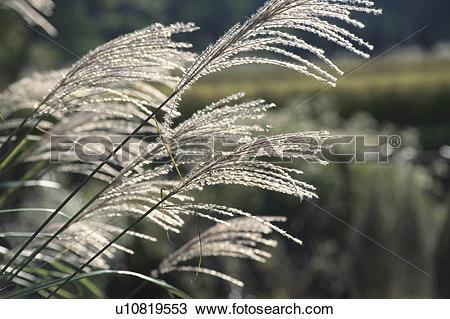 Stock Photo of Japanese Pampas Grass u10819553.