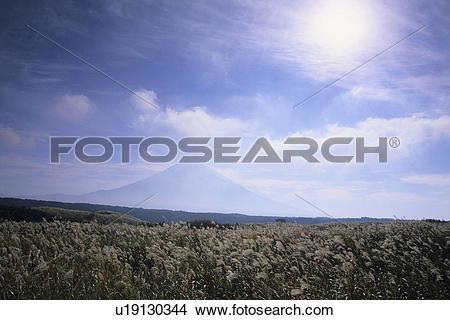 Stock Photo of Japanese Pampas Grass and Mount Fuji u19130344.