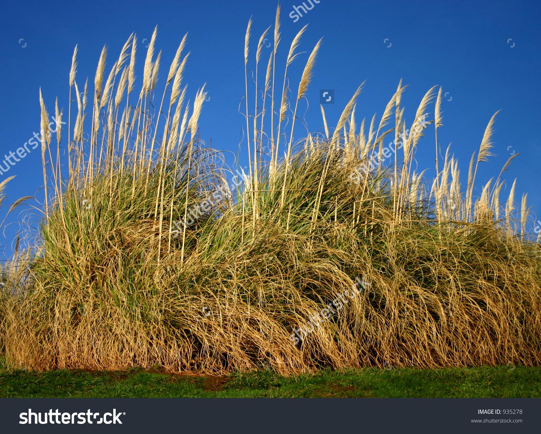 Pampas Grass Very Tall Ornamental Grass Stock Photo 935278.
