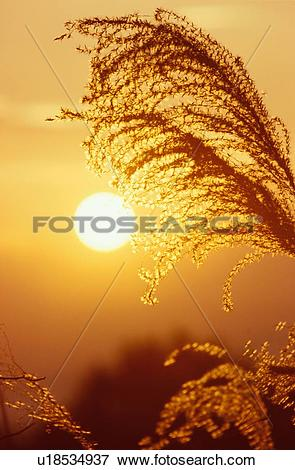Picture of Pampas Grass At Sunset u18534937.