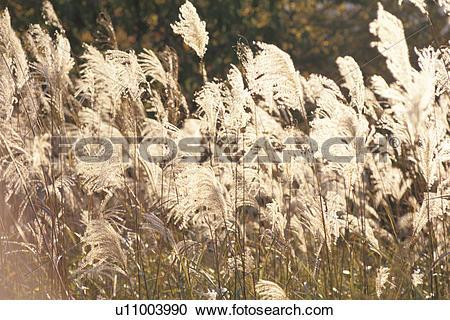 Stock Photography of Japanese Pampas Grass u11003990.