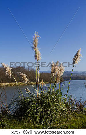 Stock Photography of Pampas Grass along the Mad River x75716370.