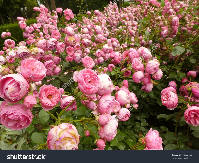 Pomponella Rose Stock Photo 160502606 : Shutterstock.