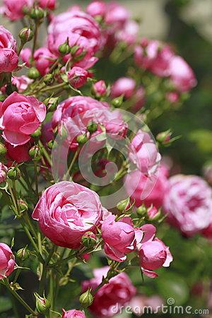 Pomponella Rose Stock Photo.