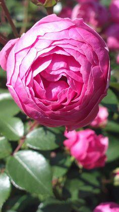 Germany, Floribunda roses and Roses on Pinterest.