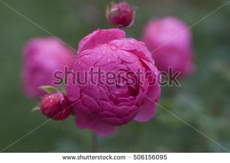 Morning Rose Stock Photos, Royalty.