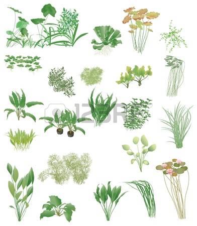 3,984 Aquatic Plants Cliparts, Stock Vector And Royalty Free.