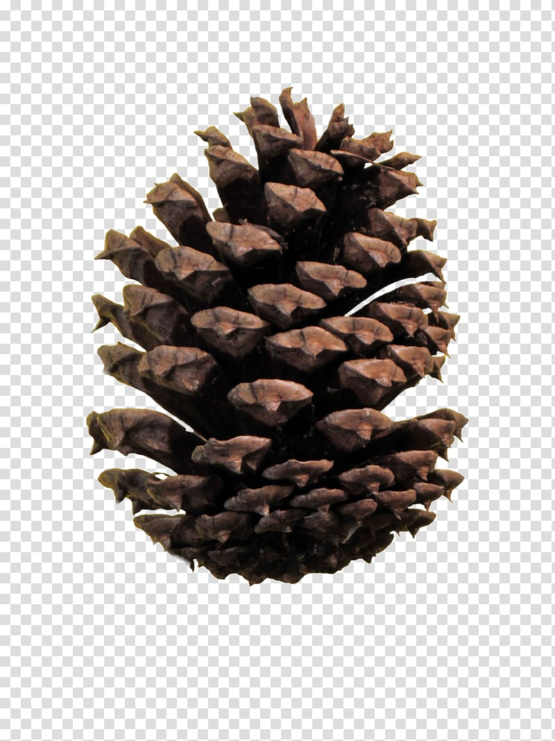 Conifer cone Ponderosa pine file formats Conifers.