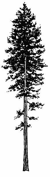 ponderosa pine tree.