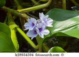 Pontederiaceae Images and Stock Photos. 24 pontederiaceae.