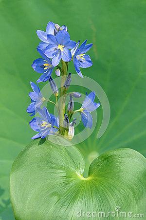 Pontederiaceae Stock Photos, Images, & Pictures.