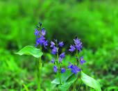 Stock Images of Pontederiaceae, marine life, marine plant, plants.