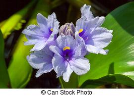 Stock Image of Water hyacinth, Eichhornia azurea, Pontederiaceae.