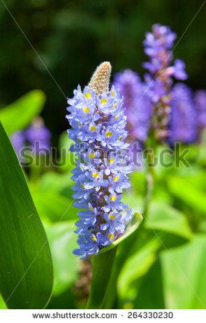 Pontederiaceae Stock Photos, Royalty.