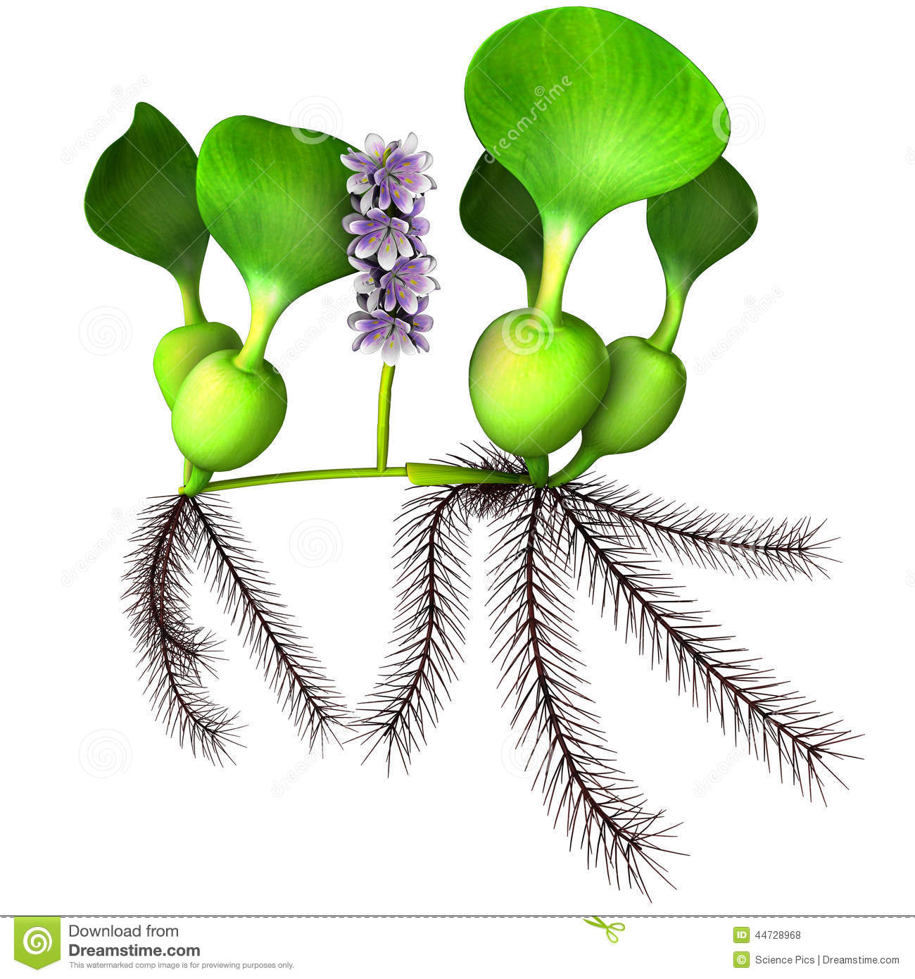 Pontederiaceae Stock Photos, Images, & Pictures.
