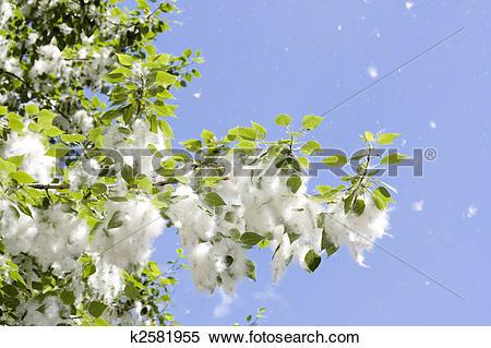 Stock Image of poplar fluff k2581955.