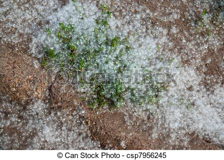 Stock Images of lying on the ground white poplar fluff csp7956245.