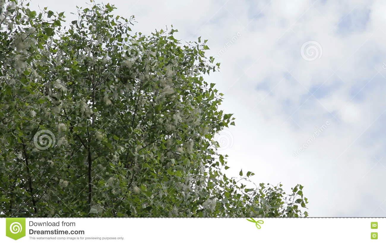 Poplar Fluff. Poplar Tree Covered By White Fluff. Stock Video.